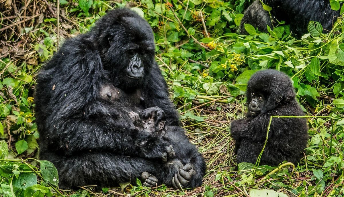 Leonardo DiCaprio Launches $2 Million Virunga Fund to Protect DR ...